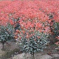 红叶石楠树,红叶石楠球,红叶石楠苗。