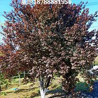 肥西红叶李-肥西紫叶李基地-肥西红叶李低分支D15-20cm