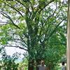安徽皂角树-肥西皂角树基地-规格30-50cm出售