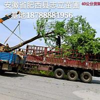 肥西骨架朴树基地-肥西骨架朴树20-50cm出售 价格合理