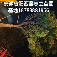 肥西精品朴树基地-肥西朴树25装车-肥西朴树出售