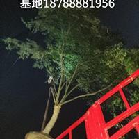 肥西鸡爪槭基地-肥西鸡爪槭15cm装车-红枫8cm出售