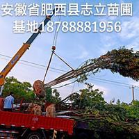 肥西丛生朴树出售-肥西丛生朴树基地-肥西丛生朴树装车