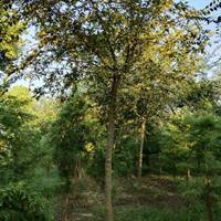 供应8-10公分朴树