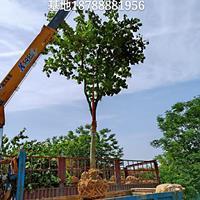 肥西巨紫荊基地-肥西巨紫荊*大苗圃-肥西巨紫荊產地
