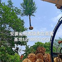 安徽朴树-安徽三角枫-安徽大叶女贞-苗圃移植大量出售