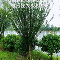 肥西单杆木槿D6-8CM出售-肥西木槿基地-肥西木槿价格