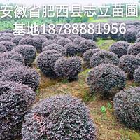 肥西*大的红花继木球基地120-150冠 数量5万颗
