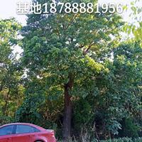 安徽重阳木-肥西重阳木基地-肥西大规格30-60cm移植出售