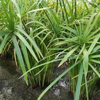 各种水生植物  优质旱伞草  风车草