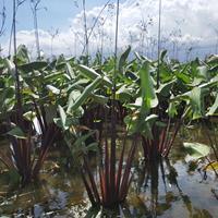 温州莲情垂花水竹芋,红鞘水竹芋、红鞘再力花,批发供应