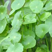 温州莲情常年大量供应铜钱草,香菇草,金钱草,破铜钱草