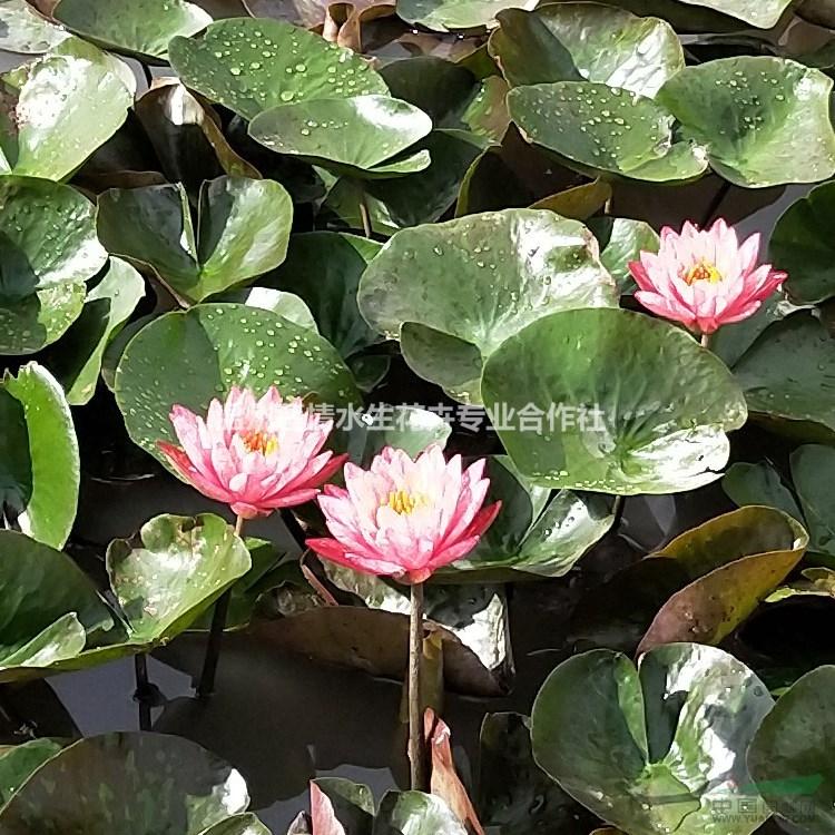 红白睡莲粉牡丹科罗拉多蓝色香水莲世代豪华万维莎 规  格大苗小苗