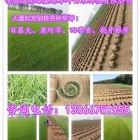 批发销售各种草坪:百慕大、果岭草、四季青、狗牙根等