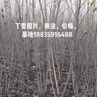 丁香價格·丁香圖片·主要產地分布·供應山西運城丁香種植基地