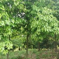 木荷落羽杉、红叶石楠、紫薇、紫荆、木槿