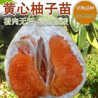 金桔蜜柚挂果母树行情报价/金桔蜜柚挂果母树图片展示