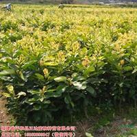 大小规格金桔蜜柚苗2基地
