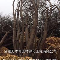 安徽[產品]/安徽叢生樸樹30-150公分價格/報價