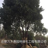 安徽丛生香樟30-150公分哪里好/哪家便宜