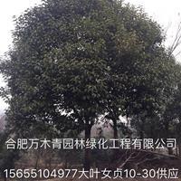 安徽[产品]/安徽大叶女贞10-30公分价格/报价
