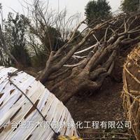 安徽丛生榔榆30-150公分介绍/特征/用途