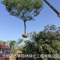 大小規格樸樹 12-50公分基地
