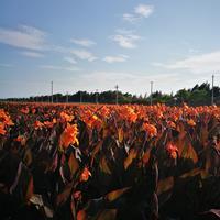 供应紫叶美人蕉,水生美人蕉,温州莲情水生植物基地直供