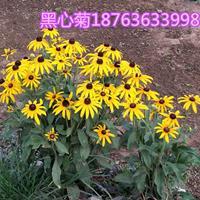 黑心菊【亮丽的色彩】黑心菊批发尽在三江花卉