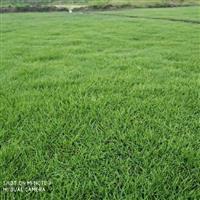 出售马尼拉草皮 绿化草坪