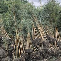 【小琴丝竹价格 竹类植物 小琴丝竹基地 】