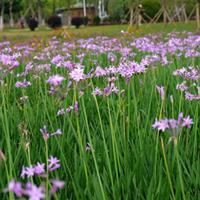 紫娇花,花境植物,球类,工程苗木
