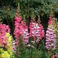 金鱼草,,花境植物,球类,小苗,工程用苗木