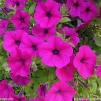 矮牵牛花 ,,,花境植物,球类,工程用苗木,庭园用花卉