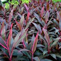 朱蕉(2加仑),,花境植物,球类,工程用苗木,庭园用花卉