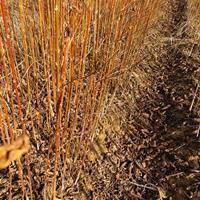 专供地径1公分喜树·高度1米喜树小苗·1年生喜树小苗