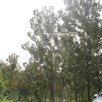 12-15公分红叶杨*新价格 红叶杨基地供应 红叶杨绿化苗