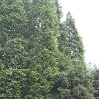 18-20公分水杉*新价格 水杉基地快乐赛车开奖 水杉绿化快乐赛车苗
