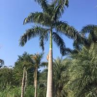 福建大王椰子价格 福建大王棕批发 福建大王椰子基地