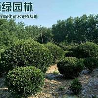 萬畝大葉黃楊球基地 低價供應各種規格大葉黃楊球 基地直銷