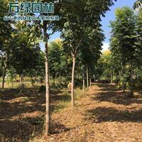 萬畝黃山欒基地 低價供應各種規格黃山欒樹 基地直銷