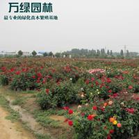 萬畝月季花基地 低價供應各種規格月季 基地直銷
