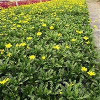 优质草花  黄金菊