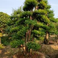 什么造型树价值高造型赤楠(鱼鳞木)
