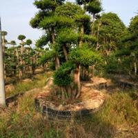什么造型树造型时间越久越漂亮高档造型赤楠