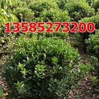 供应大叶黄杨球(冠幅80-100公分)优质大叶黄杨球价格基地