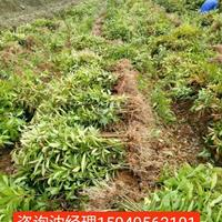 专供1公分木荷小苗·当年1米木荷小苗·江西造林木荷小苗基地