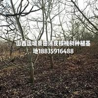 8-10公分占地核桃树装车价格30元棵,裸根,截杆核桃树