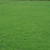 安徽省滁州市基地常年直销马尼拉草坪