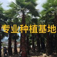 福建老人葵圖片 華棕批發價格 華盛頓棕櫚報價 華棕基地直銷